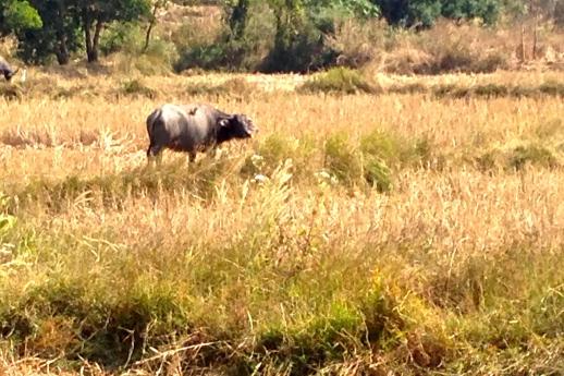 Thai buffalo.